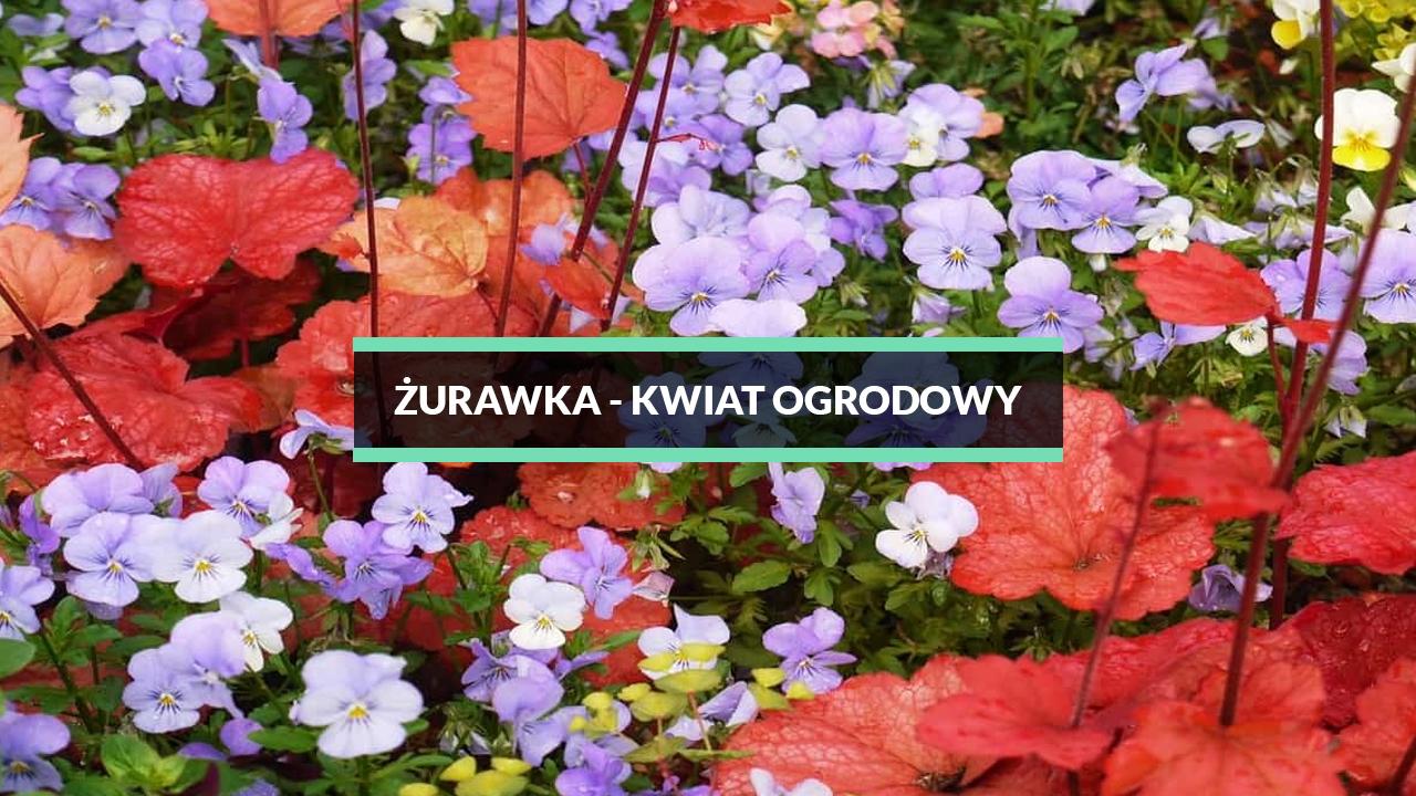 żurawka ogrodowa - kwiat do ogrodu