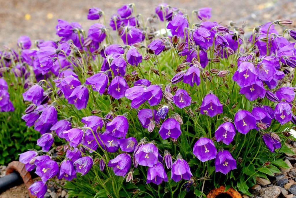 campanula - kwiaty dzwonki ogrodowe