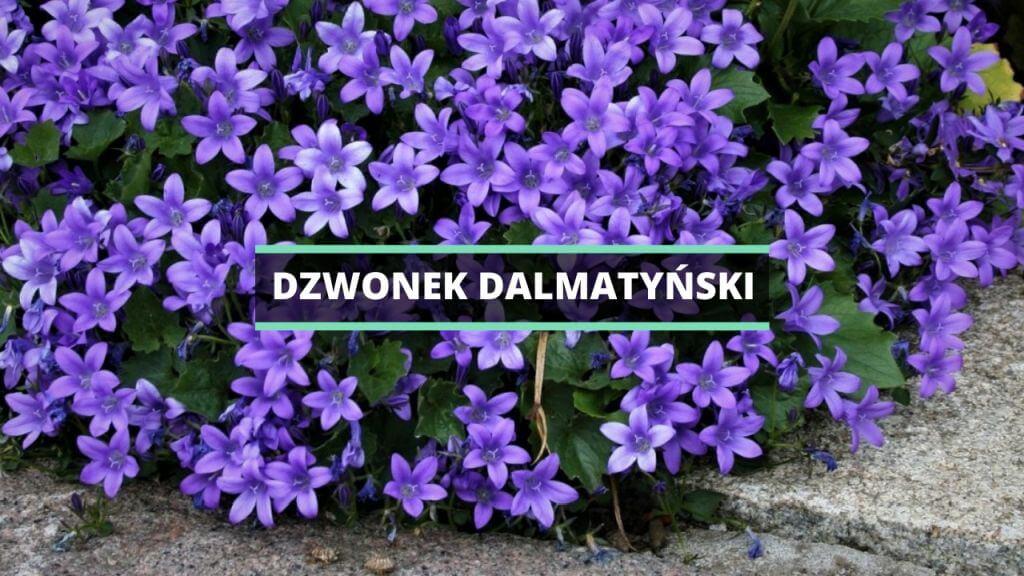 Dzwonek dalmatyński - uprawa, pielęgnacja, wymagania