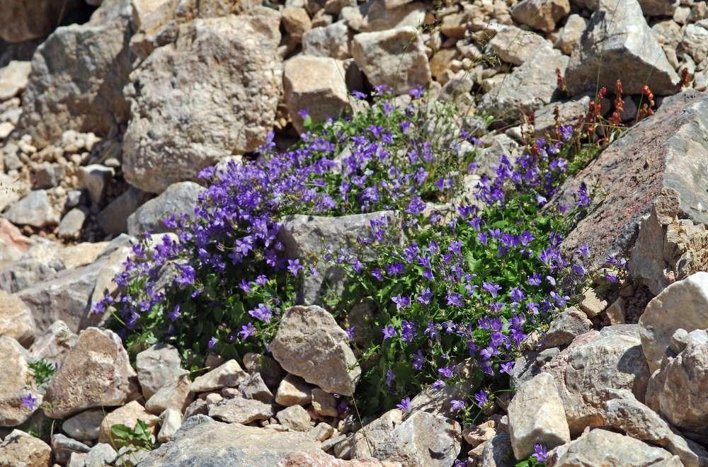 Dzwonki kwiaty w kamieniach
