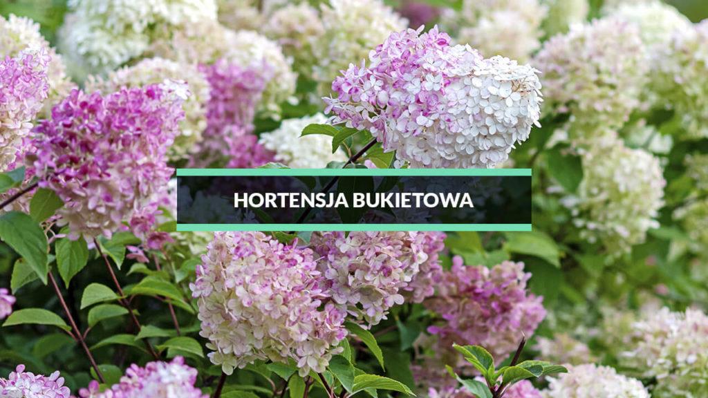 hortensja bukietowa